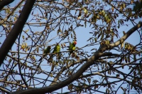3 perroquets Amazone en pleine discussion !