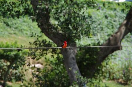 Un Tangara rouge
