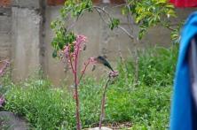 Un colibri orejivioleta...