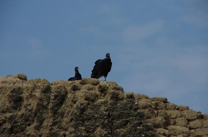 Deux gallinazos nous surveillent !