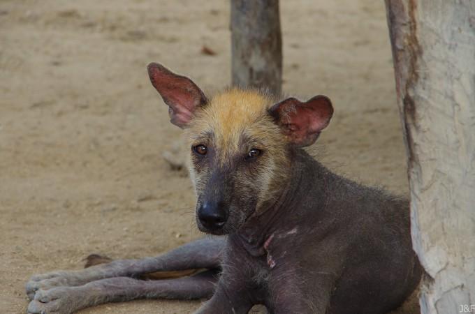Un perro viringo (ou perro calato)