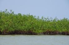 La mangrove rouge.