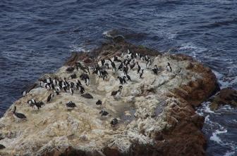 Les cormorans de Bougainville et les pélicans thages