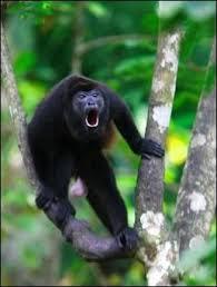 Photo d'un singe hurleur (prise sur le net !)