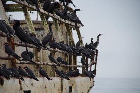 Les sternes incas