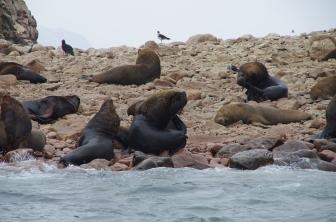 Les otaries à crinière ou lions de mer !